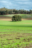 Tree in the field. Only tree in the middle of the green field Stock Photos