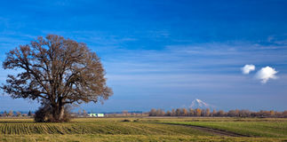 Tree in field with Mt. Hood. Tree in plowed field with Mt. Hood in the background viewed from Sauvie Island, Oregon stock photos