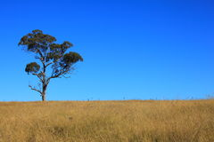 Eucalyptus tree in crop field by blue sky Stock Photos