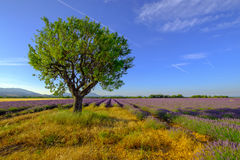 Tree in a field at Provence Stock Photo