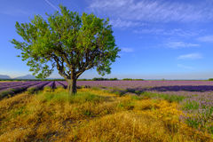 Tree in a field at Provence Stock Photography