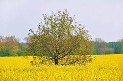 Tree in a field. Tree in the rapeseed field Royalty Free Stock Photography