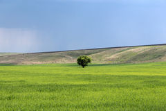 Tree in a field Royalty Free Stock Photo