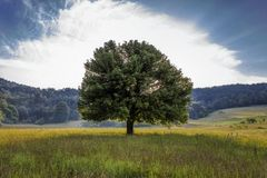 Tree in the field. Summer Stock Images