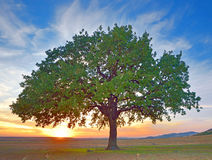 Tree  in a field summer Royalty Free Stock Image
