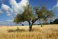 Tree in field. royalty free stock images