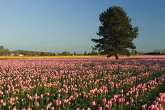 Tree in the field of tulips Royalty Free Stock Photo