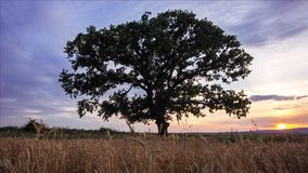 Tree in a field,. Video stock video footage