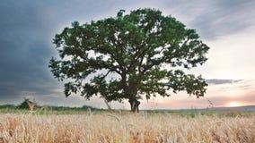 Tree in a field, video. Tree in a field, sunset video stock video footage