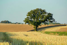 Tree in the field. Tree in a weat field Royalty Free Stock Photos