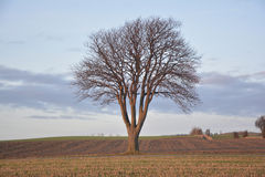 Tree. On a field in winter without snow Stock Image
