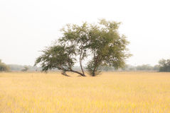 Tree on the field Royalty Free Stock Images