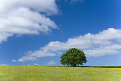 Tree and field of yellow flowers Royalty Free Stock Photo