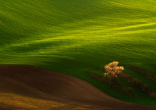 Tree on fields Stock Photography