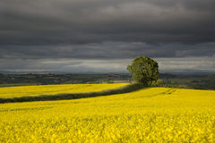 Tree in fields of yellow rape seed in the setting sunlight with stormy background Royalty Free Stock Photography