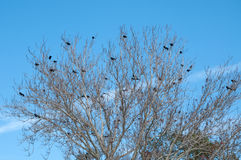 Tree filled with Crows Stock Photography