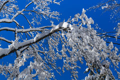 A tree filled with snow Royalty Free Stock Image
