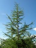 Tree a fir. Photo tree a fir or a fur-tree on a background of the blue sky Stock Photos