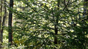 Tree a fir-tree in the wood on the sun. Fir-tree among a coniferous forest in the summer stock video footage