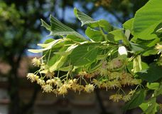 Tree flower Royalty Free Stock Image