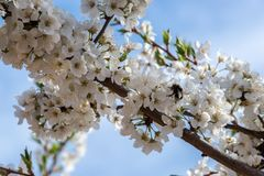 Tree with flower blossoms of plum tree in the field. Flower blossoms of plum tree in the field stock image