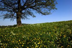 Tree in flower strewn meadow. One tree stands alone in a flower strewn meadow. There are yellow flowers, green grass and a deep blue sky Royalty Free Stock Photography
