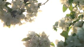 Tree Flower Sunset. Video of Tree Flower Sunset stock footage