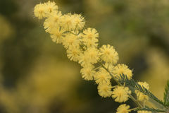 Tree flowering mimosa. In spring Royalty Free Stock Photo