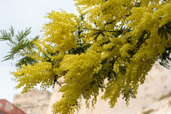 Tree flowering mimosa. In spring Royalty Free Stock Photography