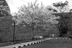 Tree flowering white pink blossom black white Royalty Free Stock Image