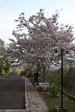 Tree flowering white pink color blossom  Thailand Stock Photo