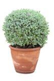 Tree in flowerpot Stock Photography