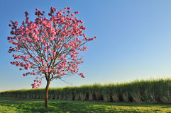 Tree and flowers. A brasilian tree, called ipe-roxo -Tabebuia rosea Stock Photos