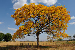 Tree with flowers. A tree with yellows flores stock photos