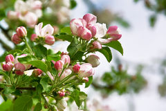 Tree flowers Royalty Free Stock Image