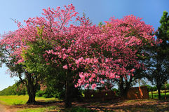 Tree and flowers. A brasilian tree, called paineira - Chorisia speciosa stock images