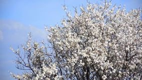 Tree flowers blooming. Cherry tree flowers blooming in springtime.Tree sway by wind against blue sky, medium shoot stock video