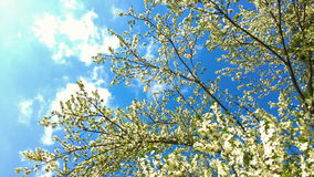 Tree flowers blooming in spring stock video footage
