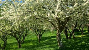 Tree Flowers Blooming In Spring. Season stock video footage