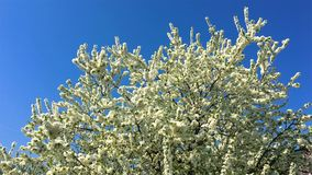 Tree Flowers Blooming In Spring. Season stock video