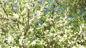 Tree Flowers Blooming In Spring stock video