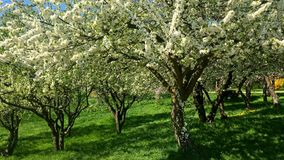 Tree flowers blooming in spring stock footage