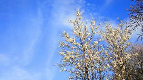 Tree flowers blooming in springtime stock video footage