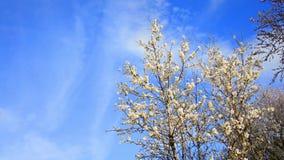 Tree flowers blooming in springtime stock video footage
