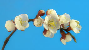 Tree flowers on blue stock video