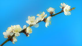 Tree flowers on blue. Timelapse tree branch with opening flowers on blue background. FullHD 1080p stock video footage