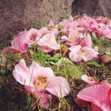 Tree flowers Royalty Free Stock Photo