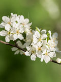 Tree Flowers Spring Blossom Royalty Free Stock Photography