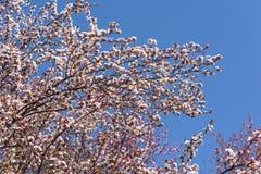Tree Flowers Spring Blossom Stock Image