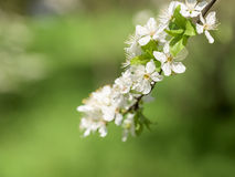 Tree Flowers Spring Blossom Stock Photography